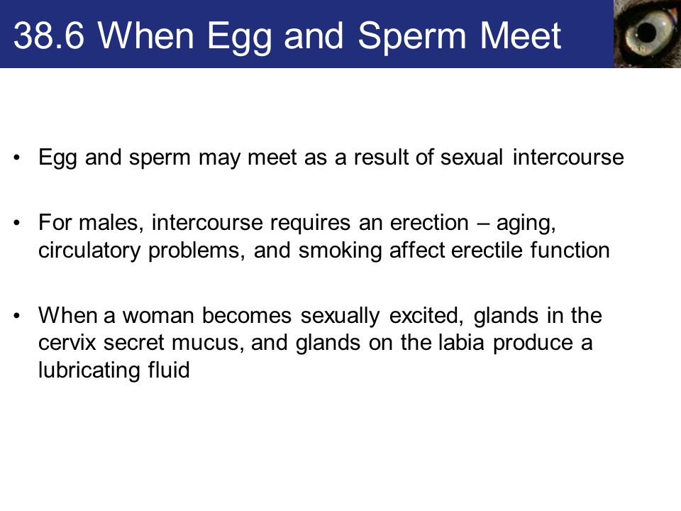 38.6 When Egg and Sperm Meet Egg and sperm may meet as a result of sexual intercourse For males, intercourse requires an erection – aging, circulatory problems, and smoking affect erectile function When a woman becomes sexually excited, glands in the cervix secret mucus, and glands on the labia produce a lubricating fluid