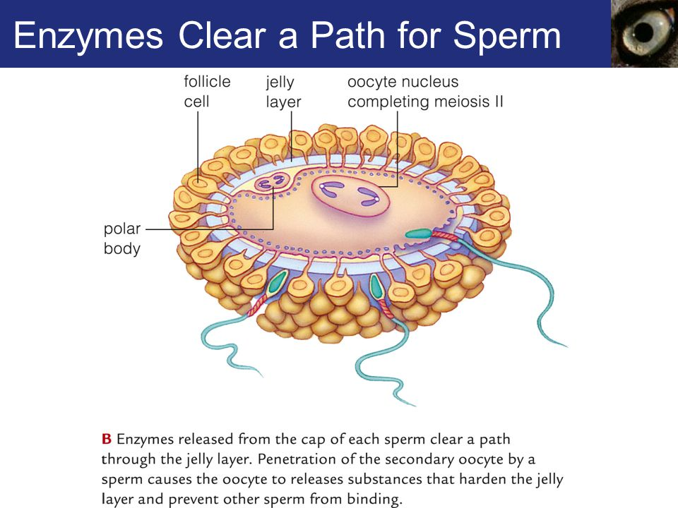 Enzymes Clear a Path for Sperm