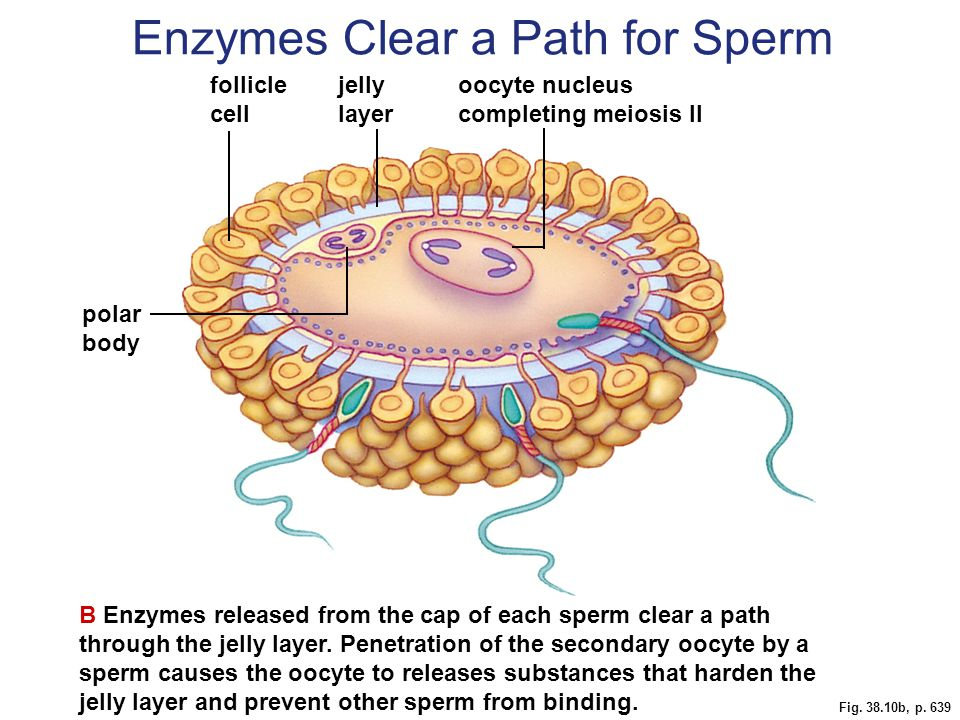 Fig. 38.10b, p. 639 B Enzymes released from the cap of each sperm clear a path through the jelly layer. Penetration of the secondary oocyte by a sperm