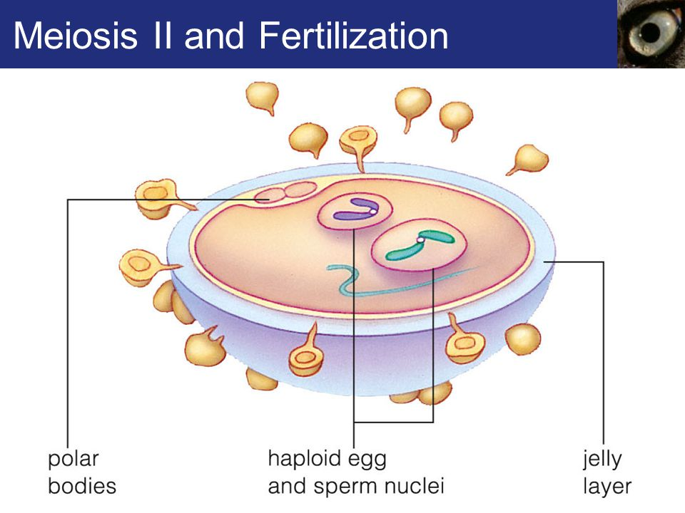 Meiosis II and Fertilization