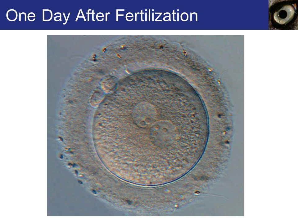 One Day After Fertilization
