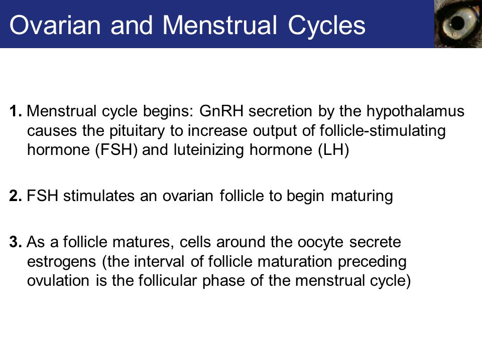 Ovarian and Menstrual Cycles 1.