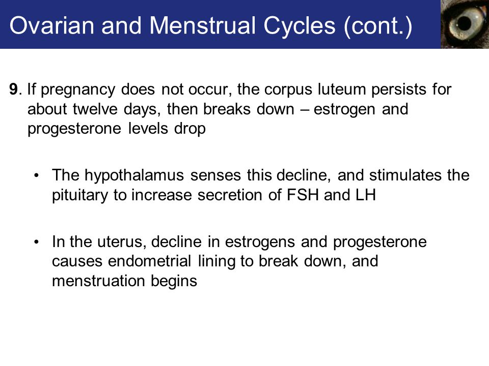 Ovarian and Menstrual Cycles (cont.) 9.