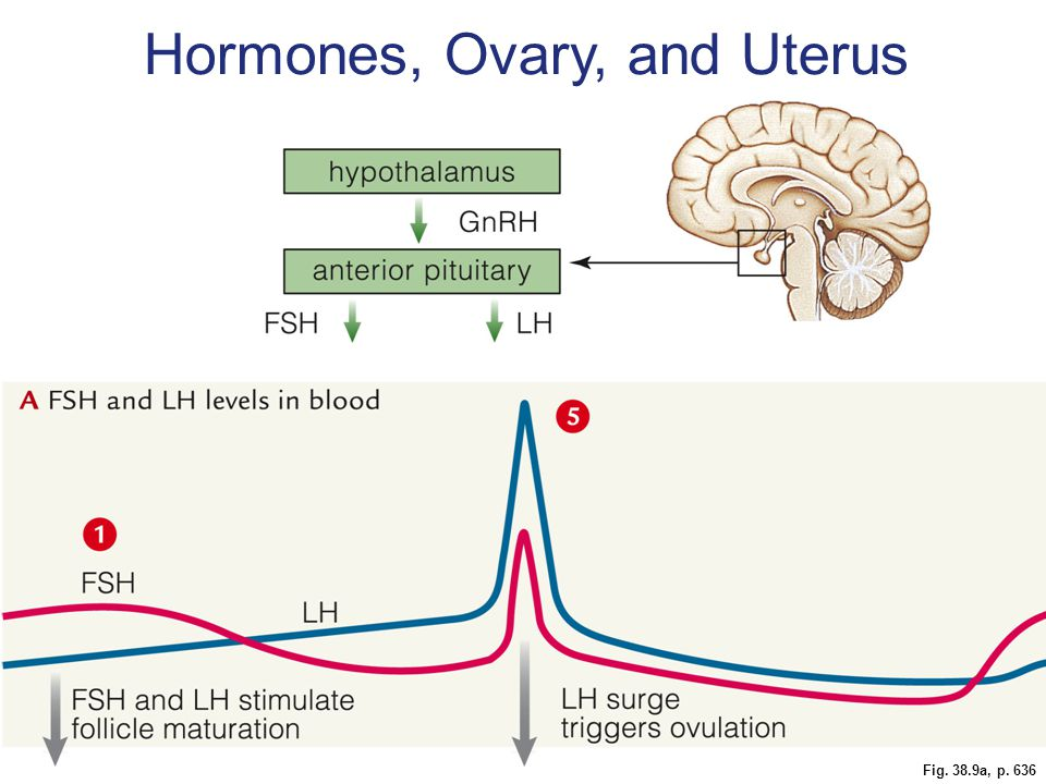 Fig. 38.9a, p. 636 Hormones, Ovary, and Uterus