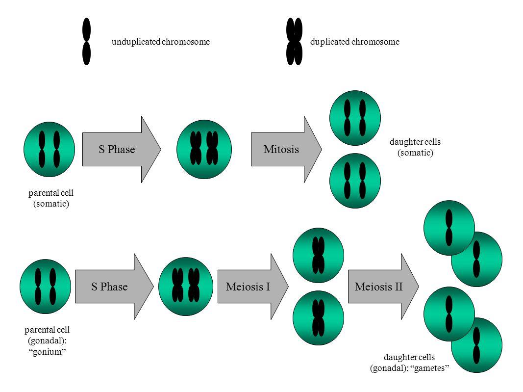 MitosisS Phase Meiosis IMeiosis II unduplicated chromosomeduplicated chromosome parental cell (somatic) daughter cells (somatic) parental cell (gonadal): gonium daughter cells (gonadal): gametes