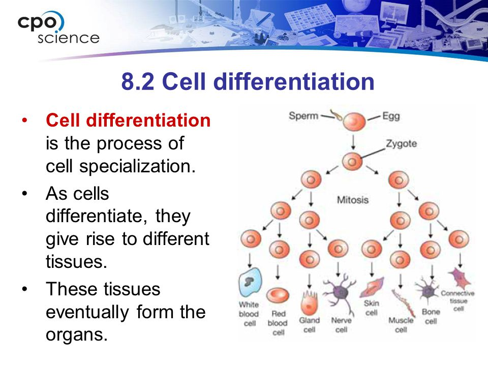 8.2 Cell differentiation Cell differentiation is the process of cell specialization.