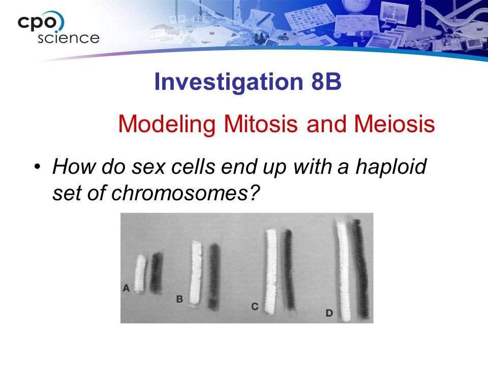 Investigation 8B How do sex cells end up with a haploid set of chromosomes.