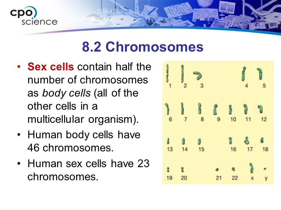 8.2 Chromosomes Sex cells contain half the number of chromosomes as body cells (all of the other cells in a multicellular organism).
