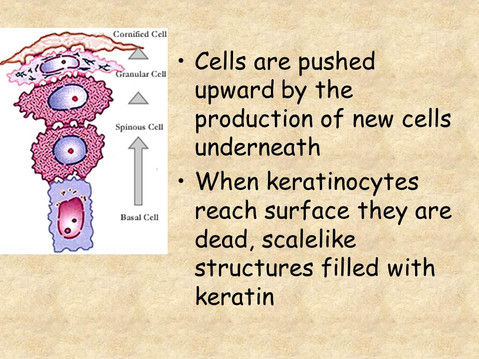 Cells are pushed upward by the production of new cells underneath When keratinocytes reach surface they are dead, scalelike structures filled with ker