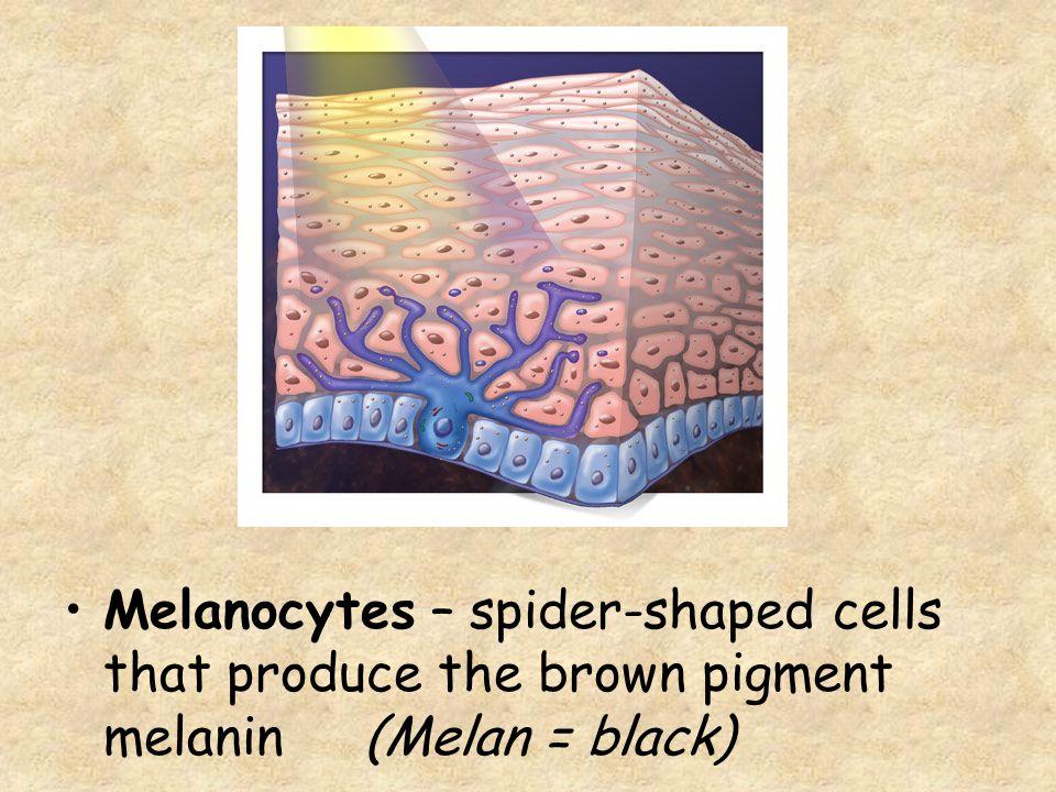 Melanocytes – spider-shaped cells that produce the brown pigment melanin (Melan = black)