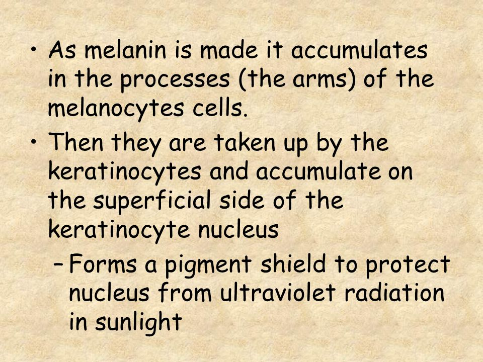 As melanin is made it accumulates in the processes (the arms) of the melanocytes cells. Then they are taken up by the keratinocytes and accumulate on