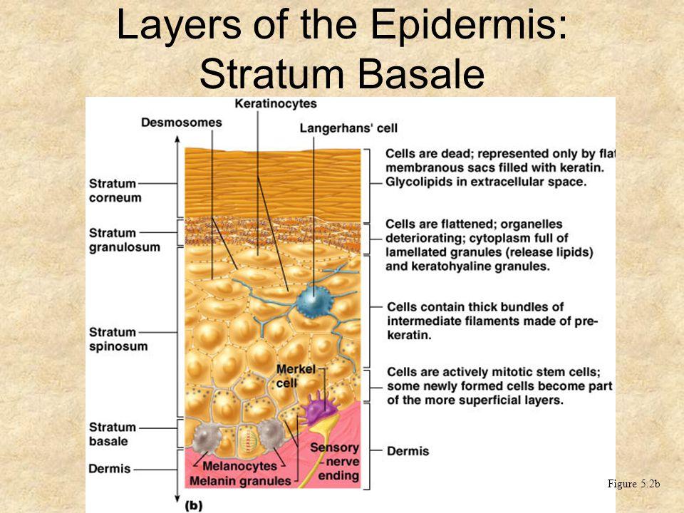 Layers of the Epidermis: Stratum Basale (Basal Layer) Figure 5.2b