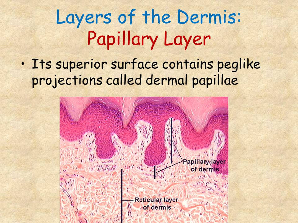 Layers of the Dermis: Papillary Layer Its superior surface contains peglike projections called dermal papillae