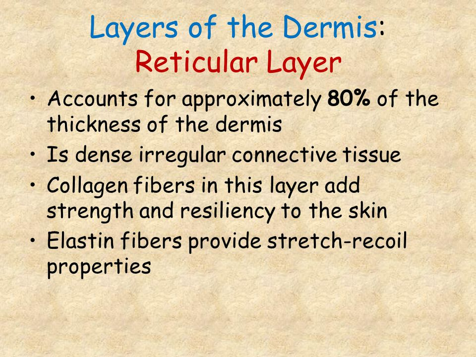 Layers of the Dermis: Reticular Layer Accounts for approximately 80% of the thickness of the dermis Is dense irregular connective tissue Collagen fibe