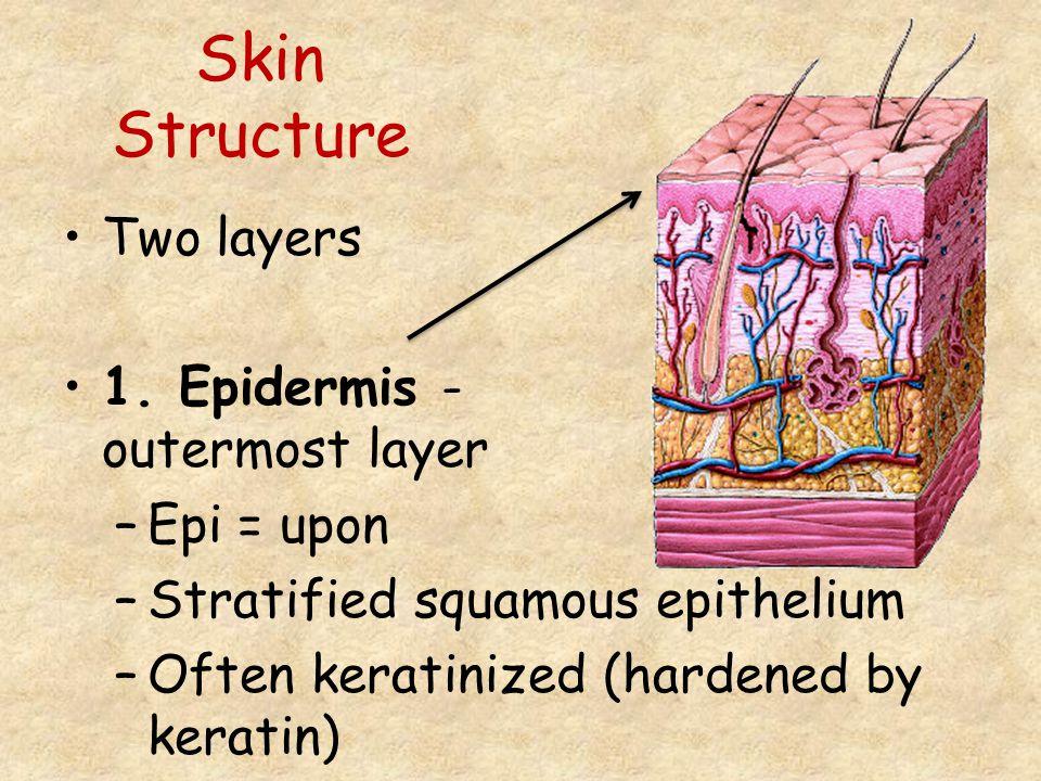 Skin Structure Two layers 1. Epidermis - outermost layer –Epi = upon –Stratified squamous epithelium –Often keratinized (hardened by keratin)