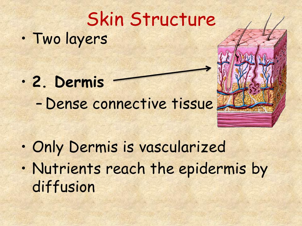 Skin Structure Two layers 2. Dermis –Dense connective tissue Only Dermis is vascularized Nutrients reach the epidermis by diffusion
