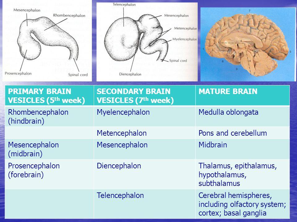 PRIMARY BRAIN VESICLES (5 th week) SECONDARY BRAIN VESICLES (7 th week) MATURE BRAIN Rhombencephalon (hindbrain) MyelencephalonMedulla oblongata MetencephalonPons and cerebellum Mesencephalon (midbrain) MesencephalonMidbrain Prosencephalon (forebrain) DiencephalonThalamus, epithalamus, hypothalamus, subthalamus TelencephalonCerebral hemispheres, including olfactory system; cortex; basal ganglia