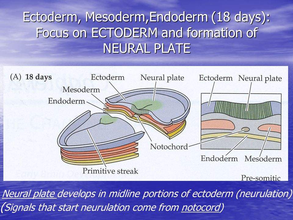 Ectoderm, Mesoderm,Endoderm (18 days): Focus on ECTODERM and formation of NEURAL PLATE Neural plate develops in midline portions of ectoderm (neurulation) ( Signals that start neurulation come from notocord)