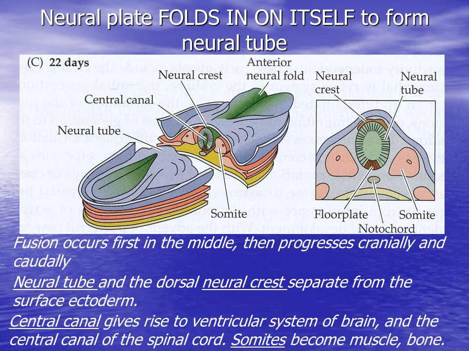 Neural plate FOLDS IN ON ITSELF to form neural tube Fusion occurs first in the middle, then progresses cranially and caudally Neural tube and the dorsal neural crest separate from the surface ectoderm.