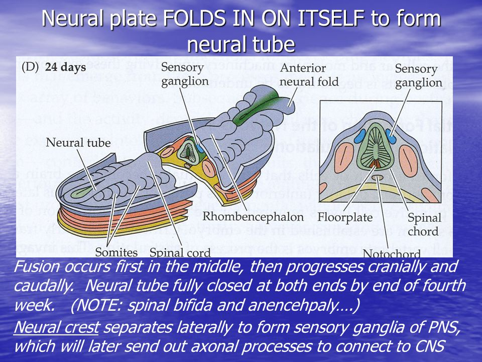 Neural plate FOLDS IN ON ITSELF to form neural tube Fusion occurs first in the middle, then progresses cranially and caudally.