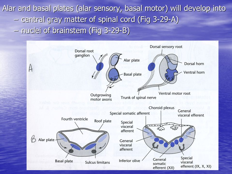 Alar and basal plates (alar sensory, basal motor) will develop into –central gray matter of spinal cord (Fig 3-29-A) –nuclei of brainstem (Fig 3-29-B)