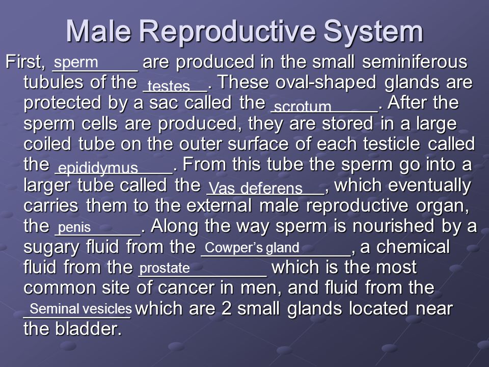 Male Reproductive System First, ________ are produced in the small seminiferous tubules of the ______.