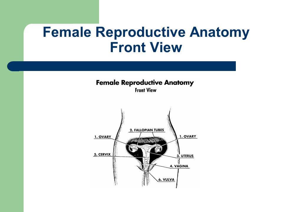 Female Reproductive Anatomy Front View