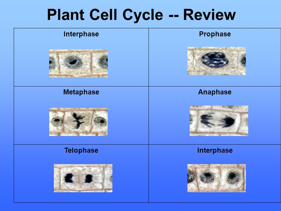 Plant Cell Cycle -- Review Interphase Prophase Metaphase Anaphase Telophase Interphase
