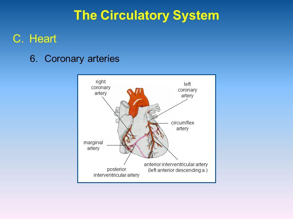 The Circulatory System 6.Coronary arteries C.Heart right coronary artery left coronary artery marginal artery posterior interventricular artery anterior interventricular artery (left anterior descending a.) circumflex artery