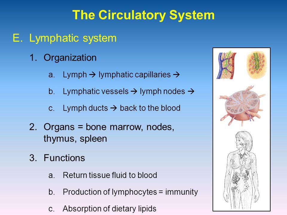 The Circulatory System 1.Organization E. Lymphatic system a.Lymph  lymphatic capillaries  b.Lymphatic vessels  lymph nodes  c.Lymph ducts  back t