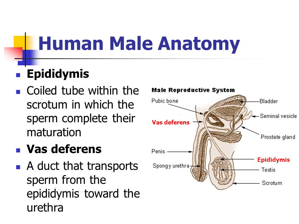 Human Male Anatomy Epididymis Coiled tube within the scrotum in which the sperm complete their maturation Vas deferens A duct that transports sperm fr