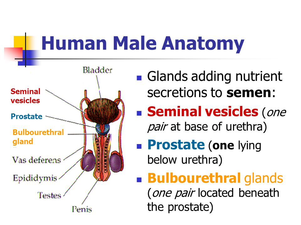 Human Male Anatomy Glands adding nutrient secretions to semen: Seminal vesicles (one pair at base of urethra) Prostate (one lying below urethra) Bulbo