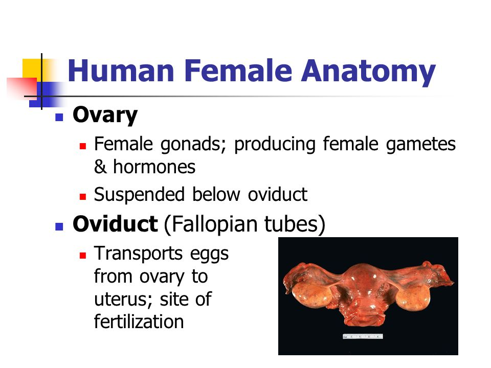 Human Female Anatomy Ovary Female gonads; producing female gametes & hormones Suspended below oviduct Oviduct (Fallopian tubes) Transports eggs from o