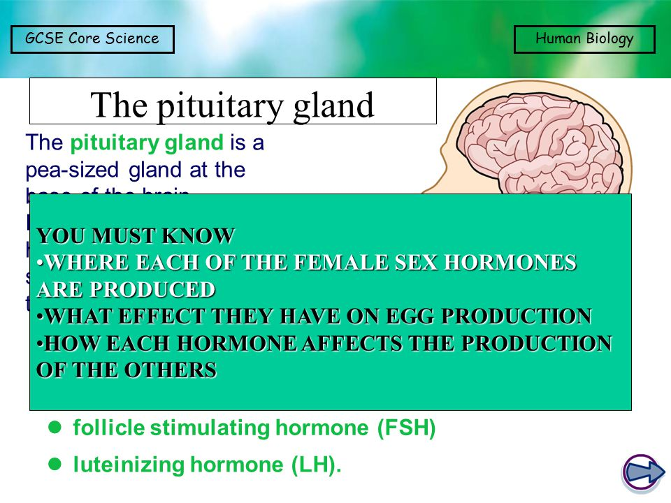 GCSE Core ScienceHuman Biology The pituitary gland The pituitary gland is a pea-sized gland at the base of the brain.