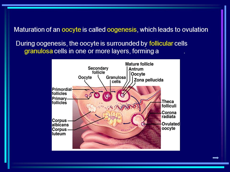 Maturation of an oocyte is called oogenesis, which leads to ovulation During oogenesis, the oocyte is surrounded by follicular cells granulosa cells i