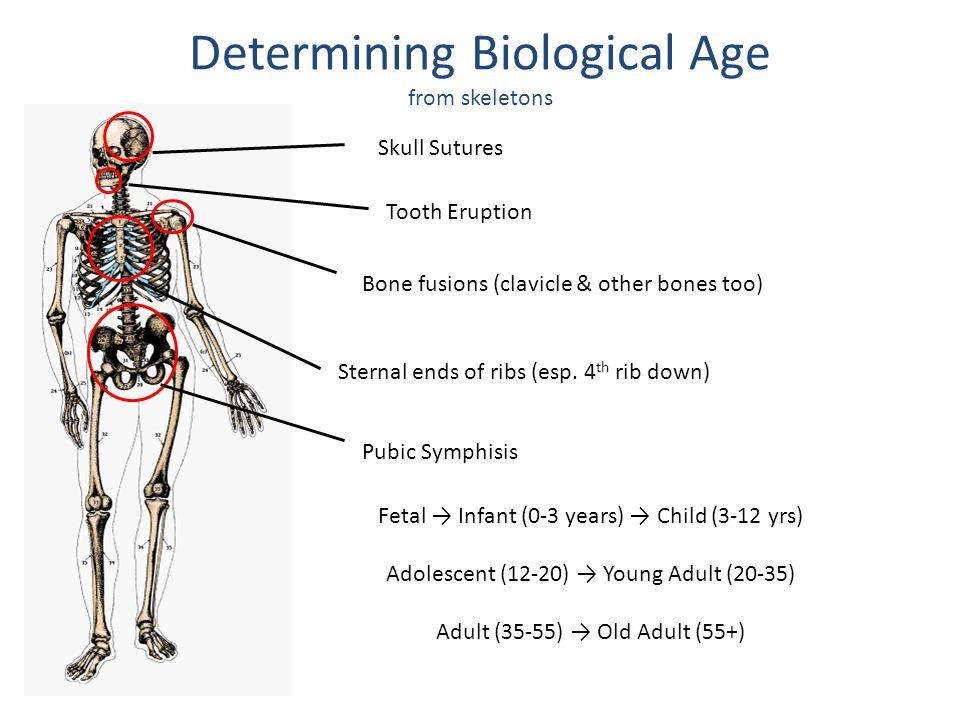 Skull (cranial) Sutures