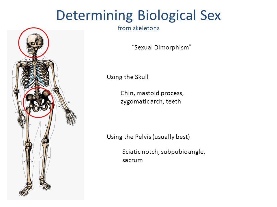 Determining Biological Sex from skeletons Sexual Dimorphism Using the Skull Using the Pelvis (usually best) Chin, mastoid process, zygomatic arch, teeth Sciatic notch, subpubic angle, sacrum