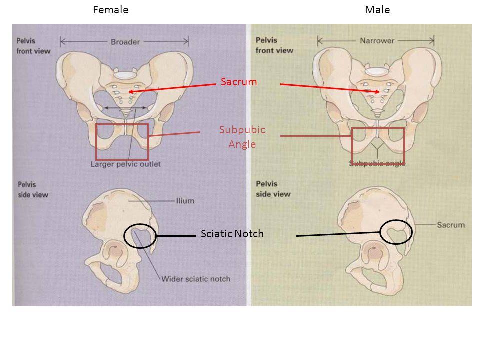 FemaleMale Sciatic Notch Subpubic Angle Sacrum