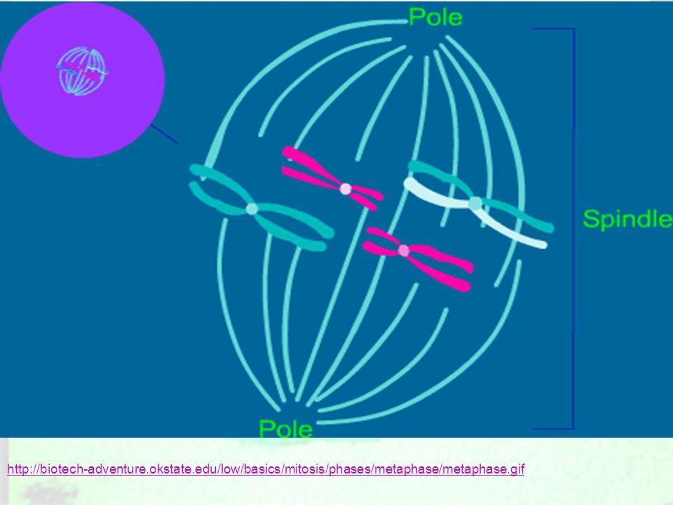 http://biotech-adventure.okstate.edu/low/basics/mitosis/phases/metaphase/metaphase.gif