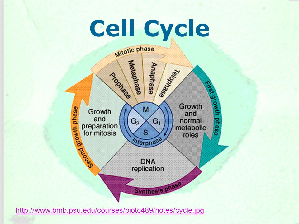 Cell Cycle http://www.bmb.psu.edu/courses/biotc489/notes/cycle.jpg