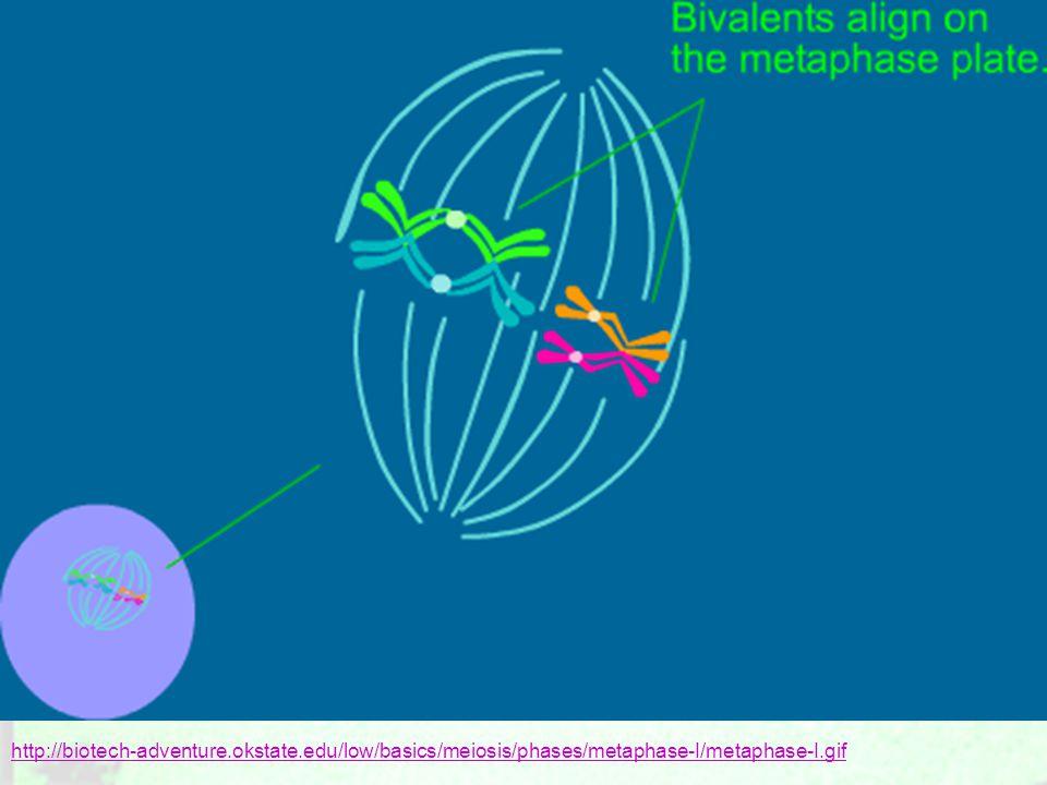 http://biotech-adventure.okstate.edu/low/basics/meiosis/phases/metaphase-I/metaphase-I.gif