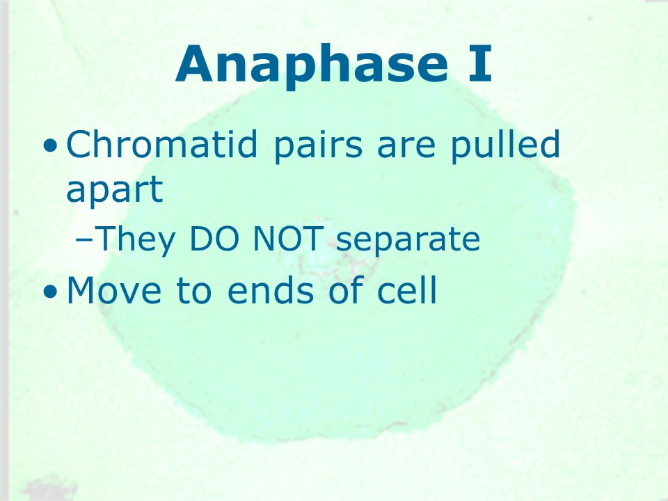 Anaphase I Chromatid pairs are pulled apart –They DO NOT separate Move to ends of cell
