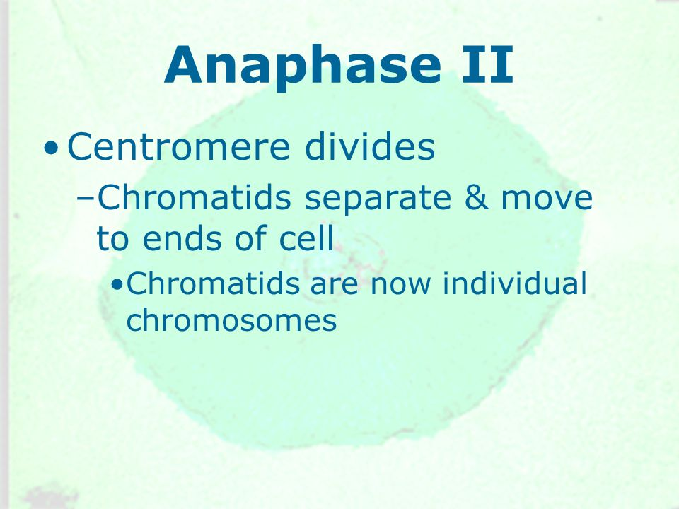 Anaphase II Centromere divides –Chromatids separate & move to ends of cell Chromatids are now individual chromosomes