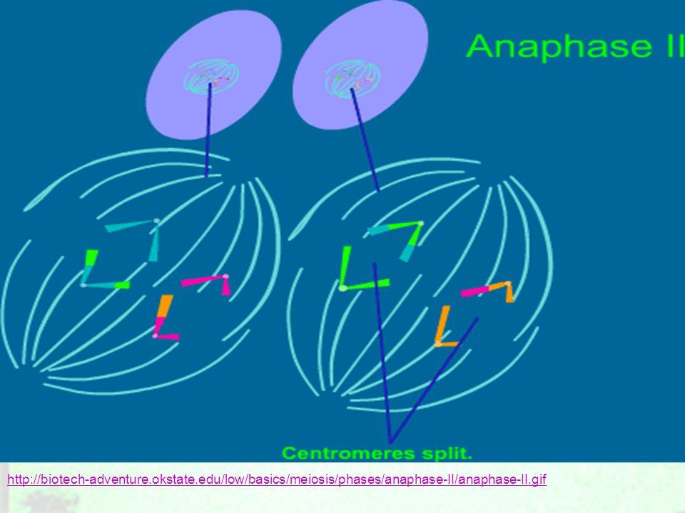 http://biotech-adventure.okstate.edu/low/basics/meiosis/phases/anaphase-II/anaphase-II.gif