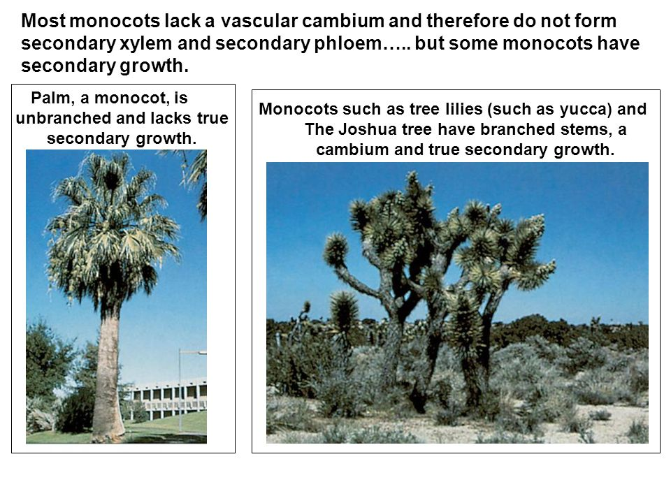 Most monocots lack a vascular cambium and therefore do not form secondary xylem and secondary phloem…..