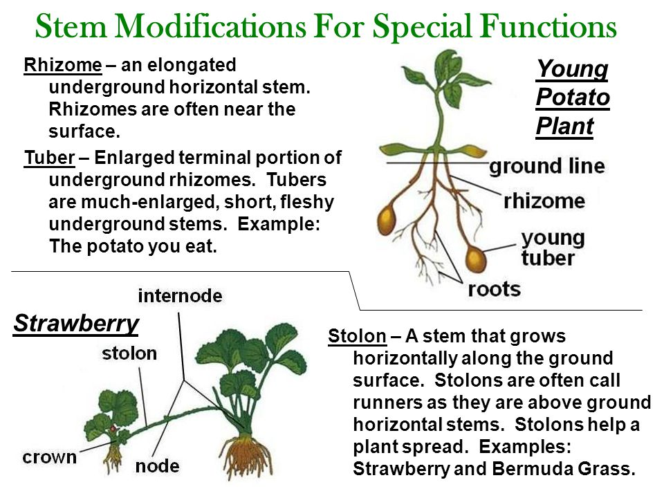 Stem Modifications For Special Functions Rhizome – an elongated underground horizontal stem.