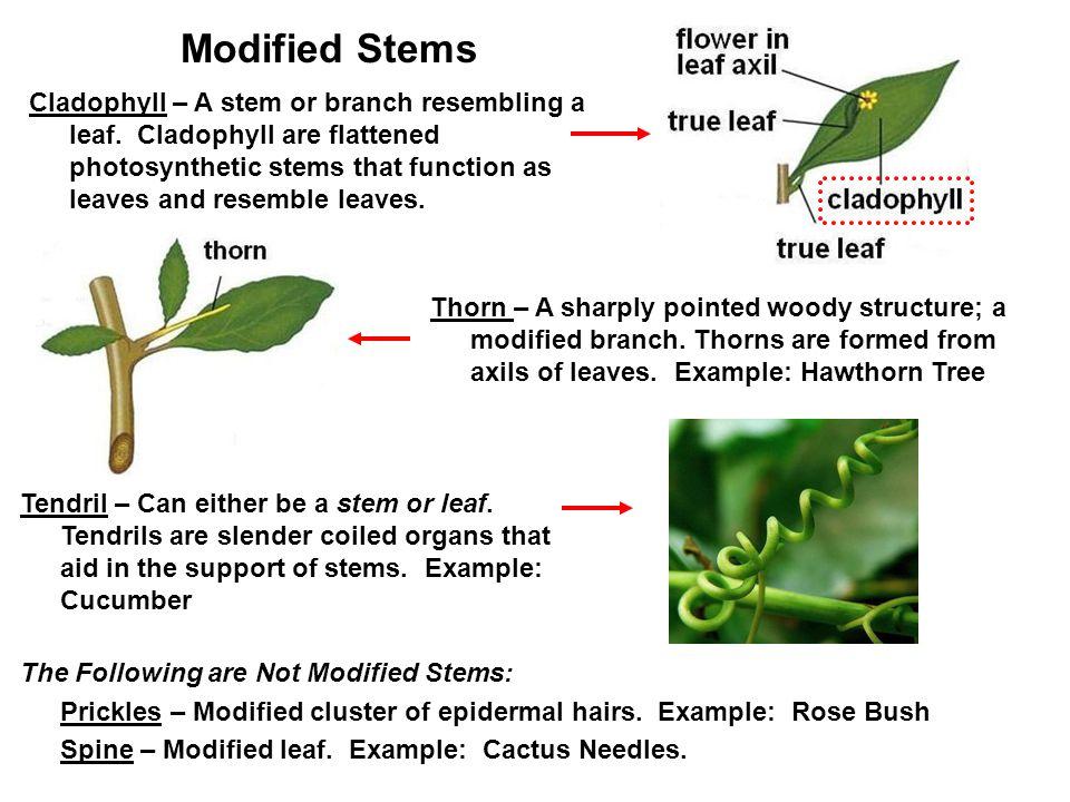 Cladophyll – A stem or branch resembling a leaf.