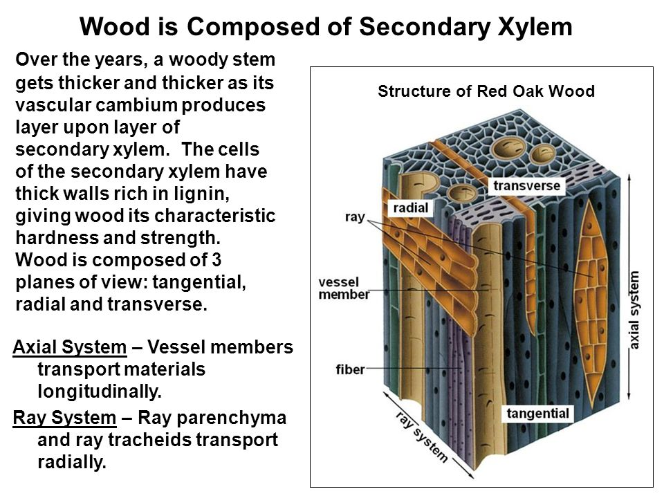 Over the years, a woody stem gets thicker and thicker as its vascular cambium produces layer upon layer of secondary xylem.