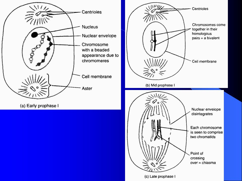 - sister chromatids join at chiasmata where crossing over can occur - nucleolus disappear, nuclear membrane breaks down - centrioles migrate to poles