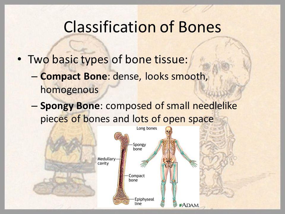 Classification of Bones Two basic types of bone tissue: – Compact Bone: dense, looks smooth, homogenous – Spongy Bone: composed of small needlelike pi